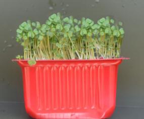 Brokoli Mikro Filizi