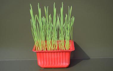 Buğday Çimi Mikro Filizi